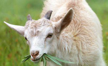 White Goat Eating Grass during Daytime